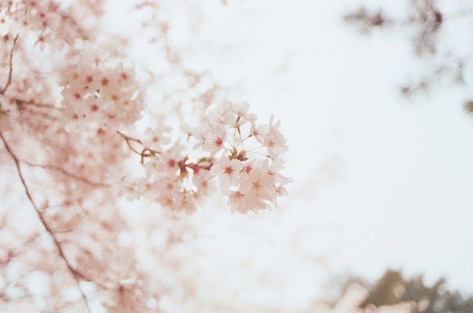 茨城の御朱印巡りで楽しめる桜