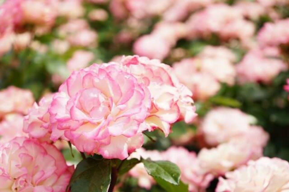 ピンクのバラの花言葉は上品・愛の誓い!色・本数で違うバラの花言葉