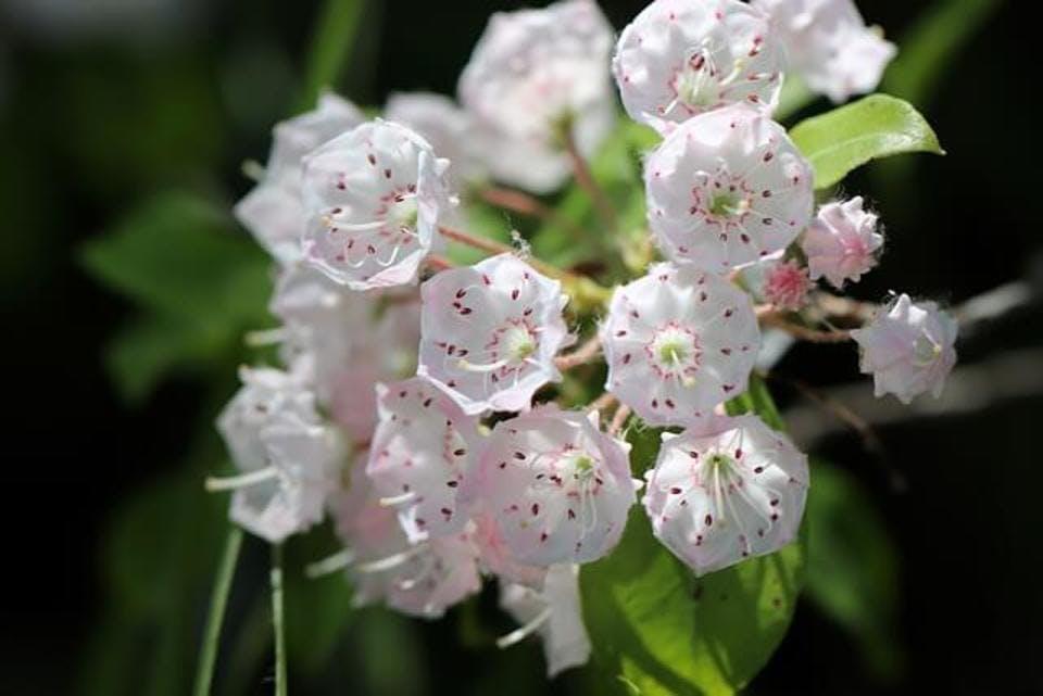 【花名から花言葉まで】カルミアに含まれる意味6つ|カルミアで春を鮮やかに!