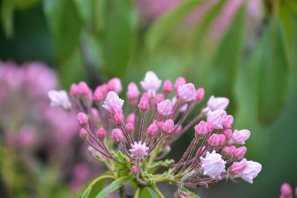 カルミア花言葉シャクナゲ