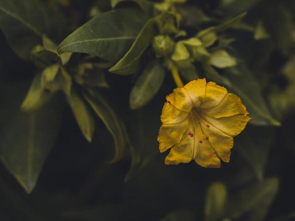 オシロイバナ花言葉 黄色ピンク