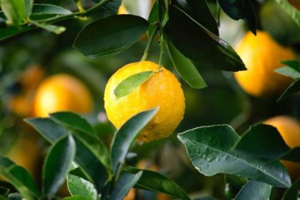 【花名から花言葉まで】柚子に含まれる意味7つ|おすすめ利用法も紹介!